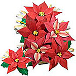 Poinsettia4